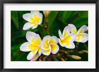 Framed Plumeria Flowers, Island Of Kauai, Hawaii