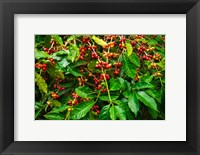 Framed Red Kona Coffee Cherries, Hawaii