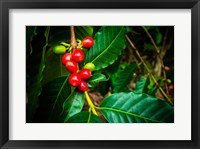 Framed Red Kona Coffee Cherries On The Vine, Hawaii