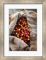Framed Harvested Coffee Cherries In A Burlap Sack, Hawaii