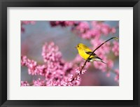 Framed American Goldfinch In Eastern Redbud, Marion, IL