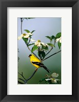 Framed American Goldfinch In A Dogwood Tree, Marion, IL
