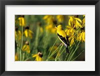 Framed American Goldfinch On Gray-Headed Coneflowers, Marion, IL