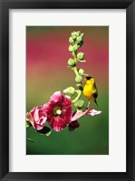 Framed American Goldfinch On Hollyhock, Marion, IL