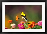 Framed American Goldfinch On Zinnias, Marion, IL