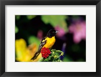 Framed Baltimore Oriole On Lantana, Marion, IL