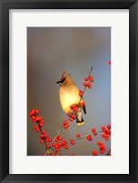 Framed Cedar Waxwing In Common Winterberry, Marion, IL