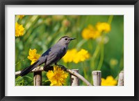 Framed Gray Catbird On A Wooden Fence, Marion, IL