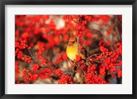 Framed Northern Cardinal In Common Winterberry Marion, IL