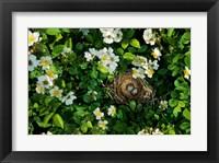 Framed Song Sparrow Nest With Eggs, IL