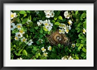 Framed Song Sparrow Nest With Eggs, IL