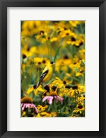 Framed American Goldfinch On Black-Eyed Susans, Illinois