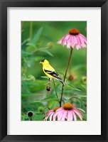 Framed American Goldfinch On Purple Coneflower, Illinois