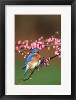 Framed Eastern Bluebird N Redbud Tree In Spring, Illinois