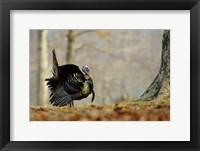 Framed Eastern Wild Turkey Strutting, Illinois