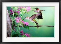 Framed Ruby-Throated Hummingbirds At Bee Balm