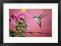 Framed Ruby-Throated Hummingbird Near Garden Phlox