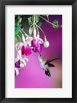Framed Ruby-Throated Hummingbird Near Hybrid Fuchsia
