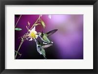 Framed Ruby-Throated Hummingbird Females At Mckana Hybrid Columbine, Shelby County, Illinois