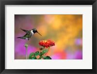 Framed Ruby-Throated Hummingbird At Dallas Red Lantana