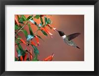 Framed Ruby-Throated Hummingbird At Cigar Plant