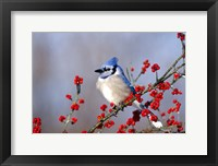 Framed Blue Jay In Icy Green Hawthorn Tree