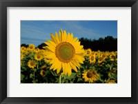 Framed Common Sunflower Field, Illinois