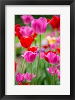 Framed Pink And Red Tulips, Cantigny Park, Wheaton, Illinois
