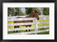 Framed Horse At Fence, Kentucky
