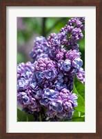 Framed Purple Lilac Tree, Arnold Arboretum, Boston