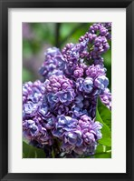 Framed Purple Lilac Tree, Arnold Arboretum, Boston
