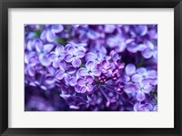 Framed Close-Up Of A Purple Lilac Tree, Arnold Arboretum, Boston