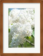 Framed White Lilac Tree, Arnold Arboretum