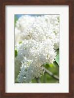 Framed White Lilac Tree, Arnold Arboretum