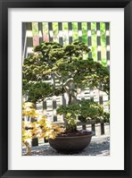 Framed Bonsai Tree, Arnold Arboretum
