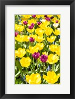 Framed Vibrant Tulip Garden, Massachusetts