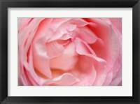 Framed Close-Up Of A Pink Pierre De Ronsard Rose