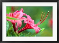 Framed Pink Azalea, Massachusetts