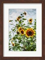 Framed Tall Sunflowers In Cape Ann, Massachusetts