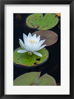 Framed White Water Lily Flowering In A Pond