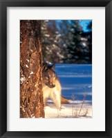 Framed Gray Wolf On The Alert In Winter