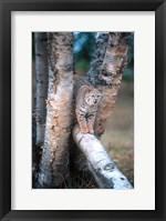 Framed Bobcat On A Fallen Birch Limb