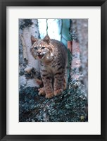 Framed Close-Up Of A Bobcat