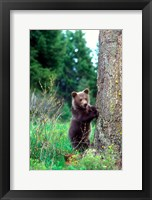 Framed Grizzly Bear Cub Leaning Against A Tree