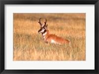 Framed Antelope Lying Down In A Grassy Field