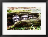 Framed Three Young Raccoons In A Hollow Log