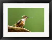 Framed Calliope Hummingbird Perched