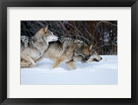 Framed Gray Wolves Running In Snow, Montana