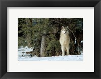 Framed Gray Wolf In Winter, Montana
