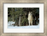 Framed Gray Wolf In Winter, Montana